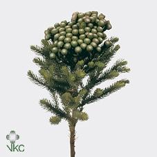 <h4>Kaaps Albiflora Green</h4>