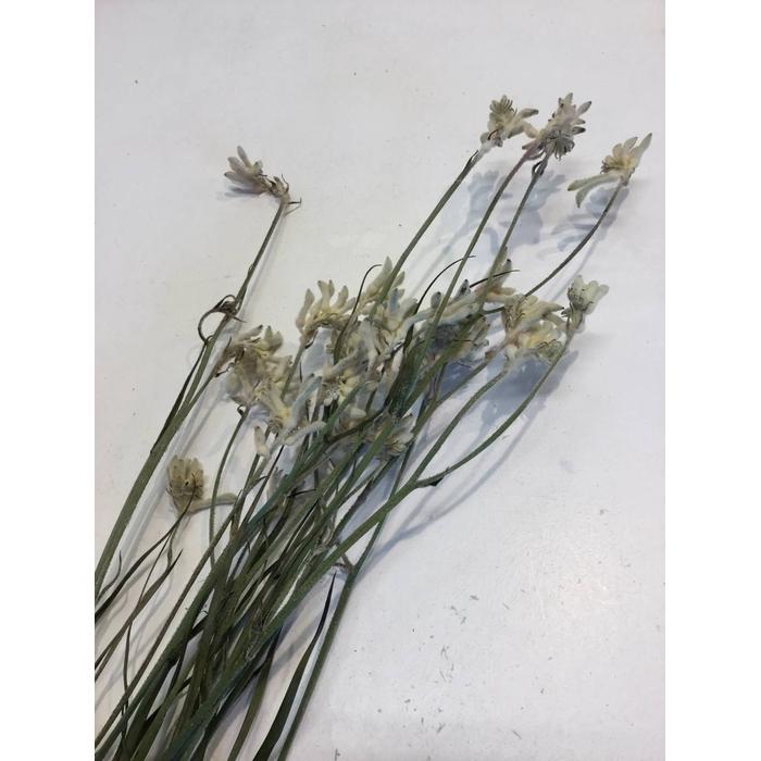 <h4>DRIED FLOWERS - ANIGOZANTHUS BUSH DIAMOND 10PCS</h4>