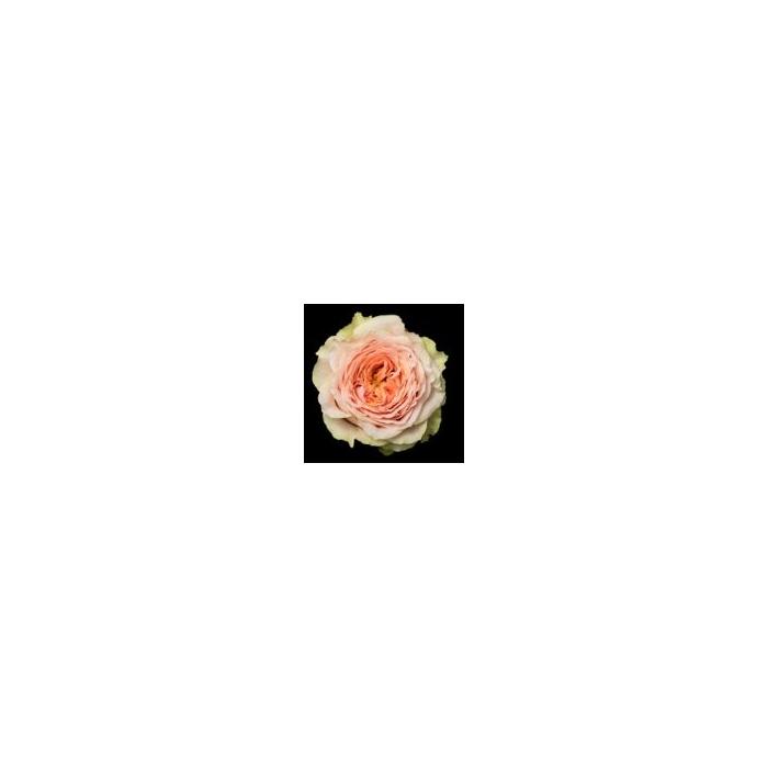 <h4>Rosa Gr. DFR112</h4>