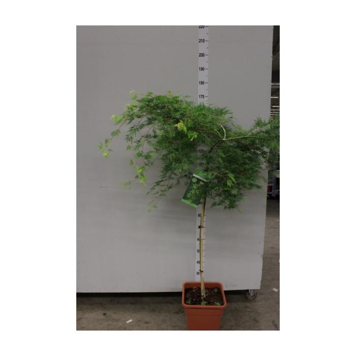 <h4>Acer palmatum 'Emerald Lace'</h4>