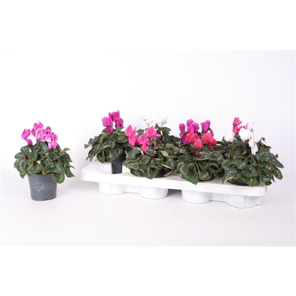 <h4>Cyclamen Allure mix  p10.5</h4>