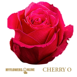<h4>R Gr Cherry-O! Hot Pink 50cm EC</h4>