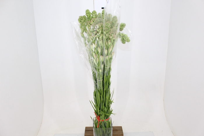 <h4>ANGELICA 050 CM</h4>