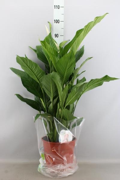 <h4>Spathiphyllum  'Sweet Silvana'</h4>