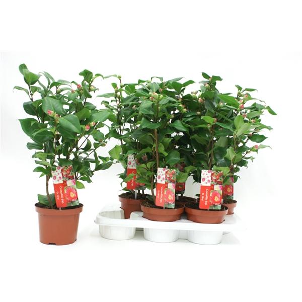 <h4>Camellia Dr King 20-25 knoppen</h4>