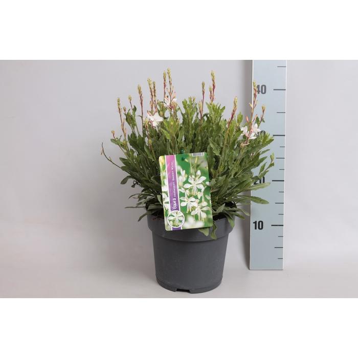 <h4>vaste planten 19 cm  Gaura Gambit white</h4>