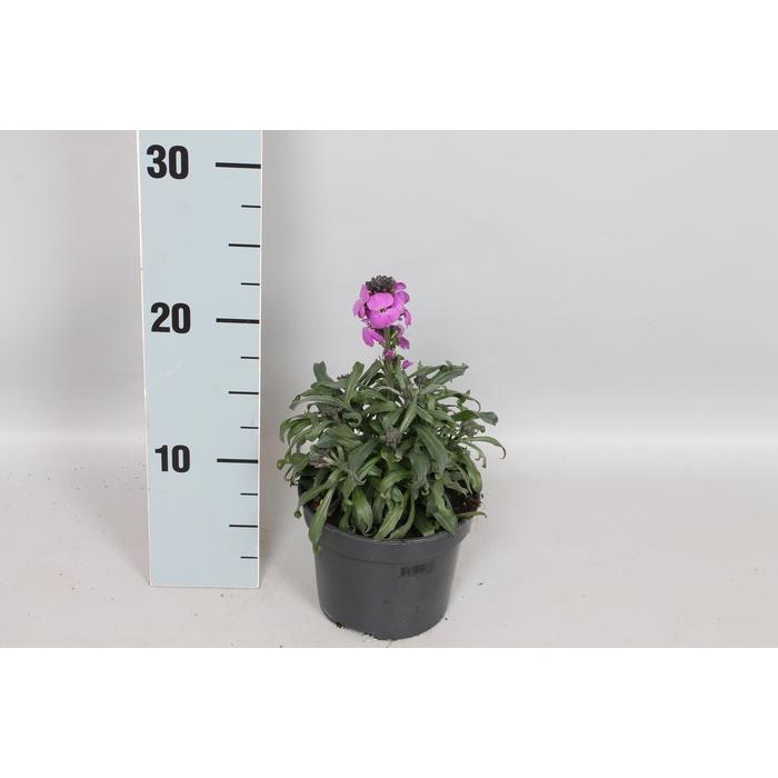 <h4>vaste planten 12 cm Erysimum Super Bowl Mauve</h4>