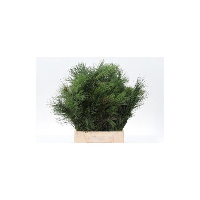 <h4>Dec Pinus Strobus</h4>