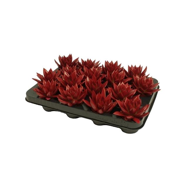 <h4>Echeveria coloured red</h4>