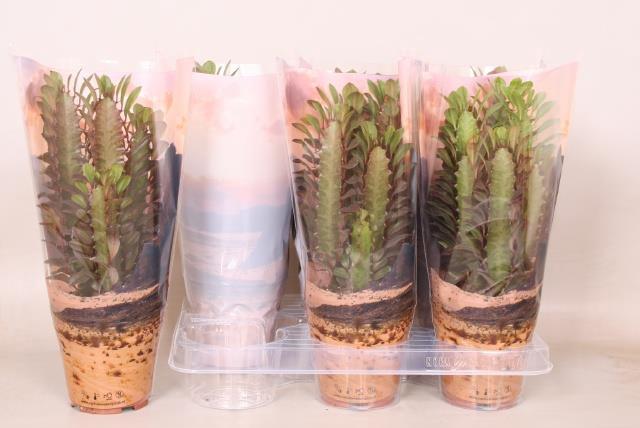 <h4>Euphorbia trigona Rubra 12Ø 35cm</h4>