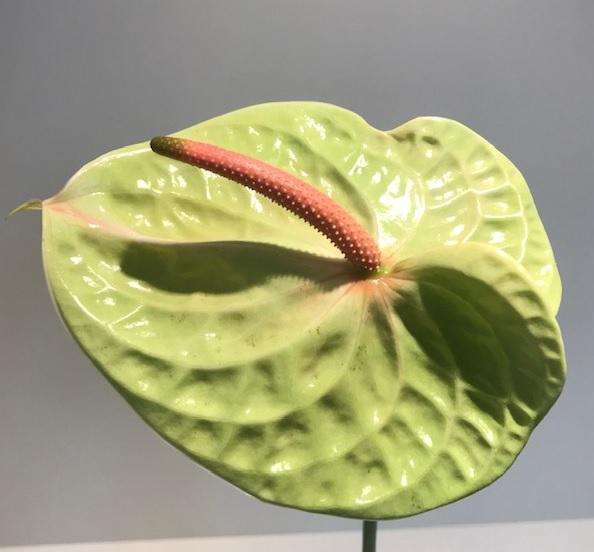 <h4>Anthurium Pistache Green Large</h4>