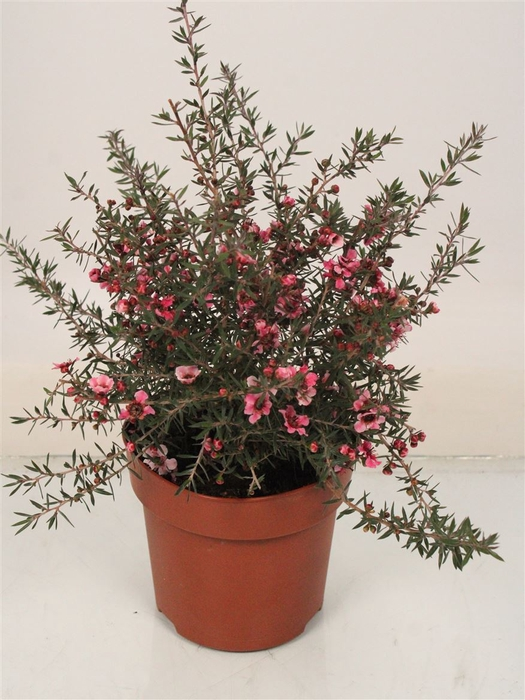 <h4>Leptospermum Scoparium Rose Enkel Bloemig Bush</h4>