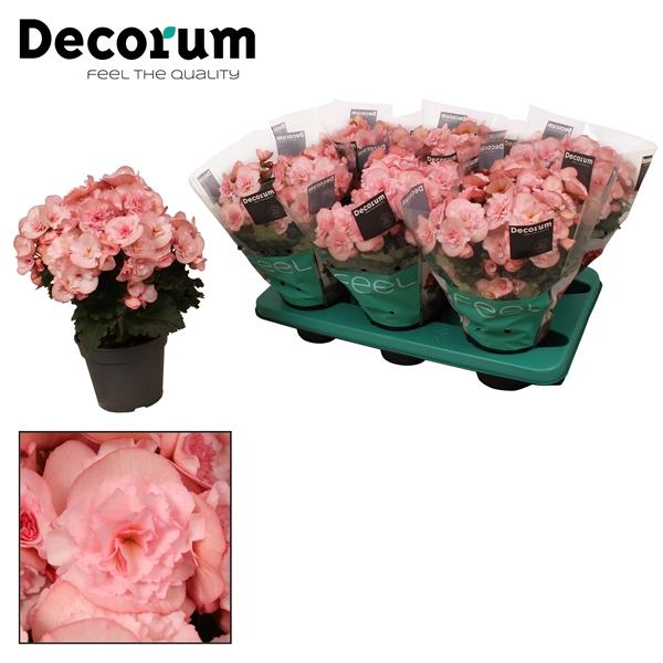<h4>Begonia ''joy pink''  licht rose</h4>