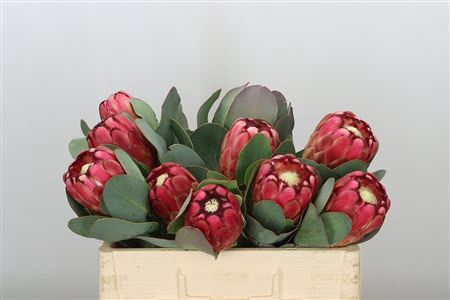 <h4>Protea Grandiceps Large</h4>