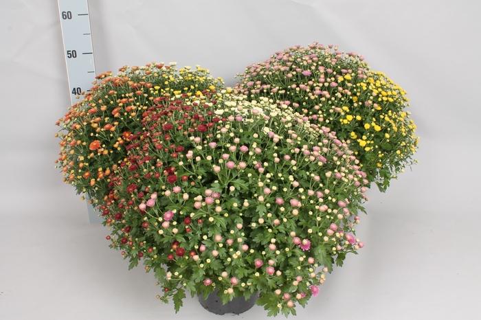 <h4>Bol chrysant Jasoda  Trio 3 kleuren per pot</h4>