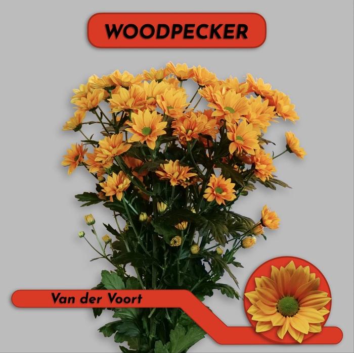 <h4>CHR T WOODPECKER</h4>