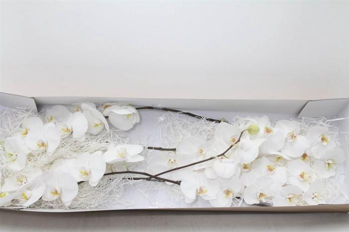 <h4>Phalaenopsis Sensation White</h4>