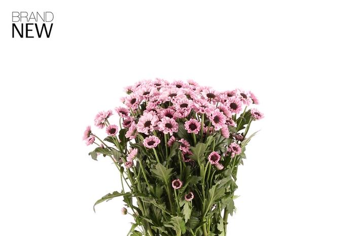 <h4>Chrys. santini Yin Yang Pink</h4>