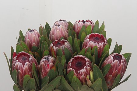 <h4>Protea Pink Ice</h4>