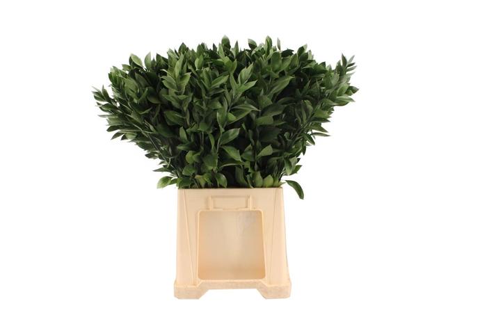 <h4>Ruscus Hypophyllum 80</h4>