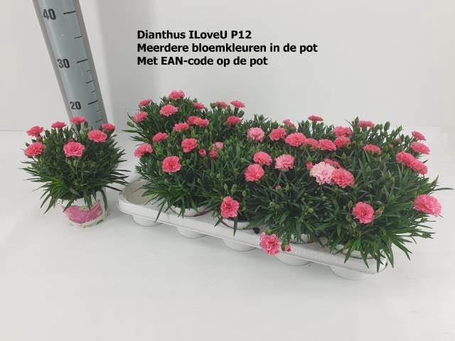 <h4>Dianthus I Love U</h4>