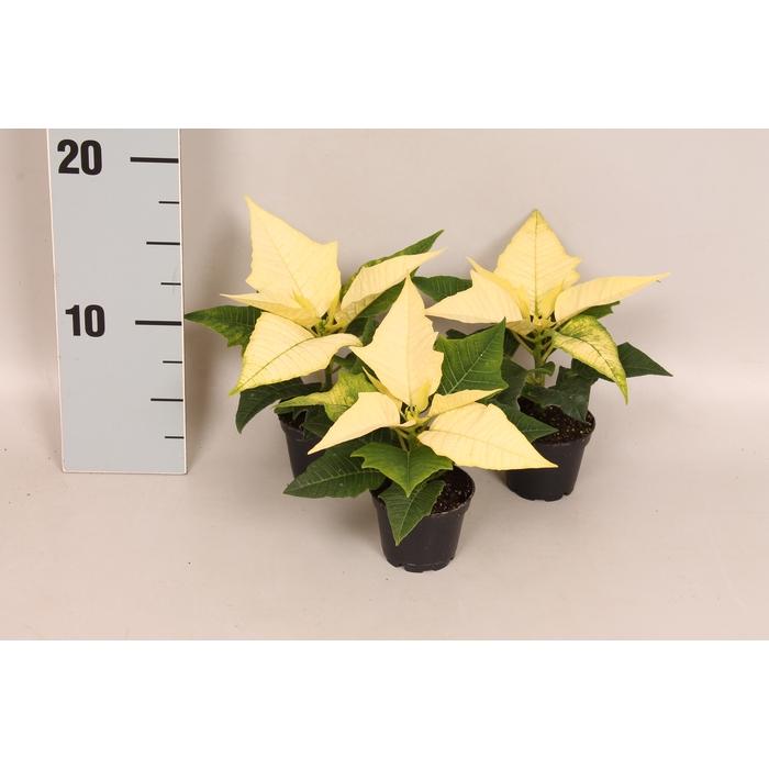 <h4>Poinsettia 6 cm WINTERSUN 1 kopper</h4>