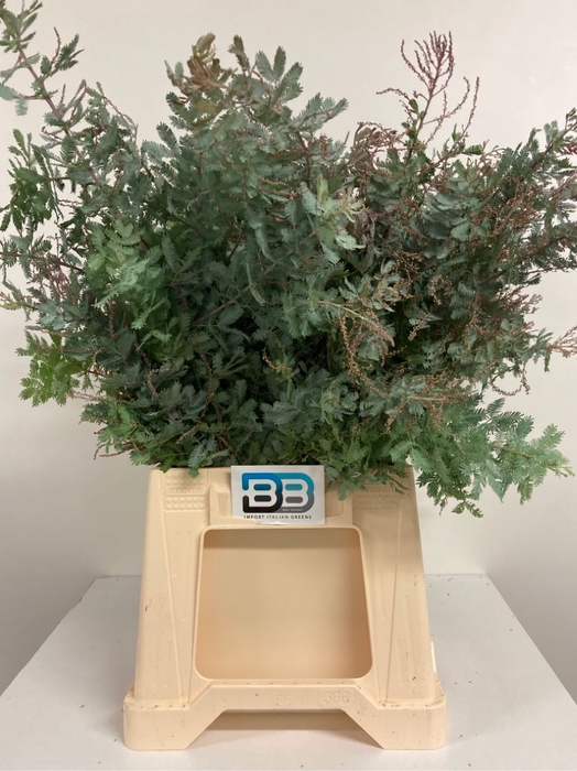 <h4>Acacia Baileyana Purpurea</h4>