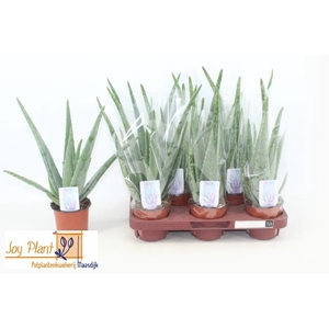 Aloe Vera 10,5Ø 30cm