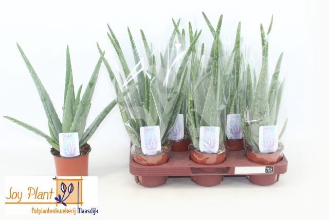 <h4>Aloe Vera 10,5Ø 32cm</h4>