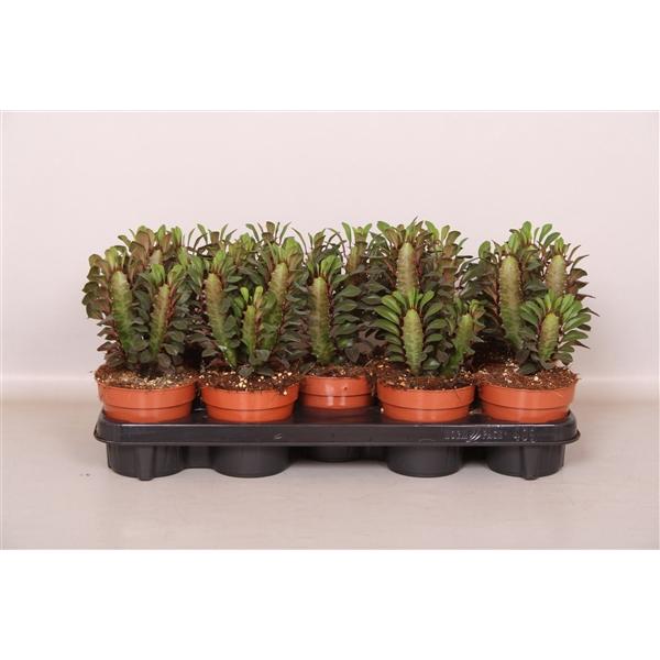 <h4>Euphorbia trigona Rubra</h4>