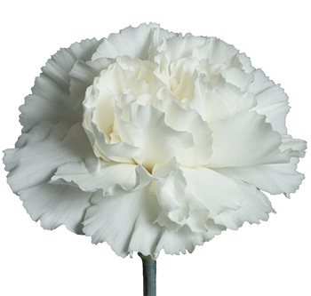 <h4>Clavel Blanco fancy (APOSENTO)</h4>