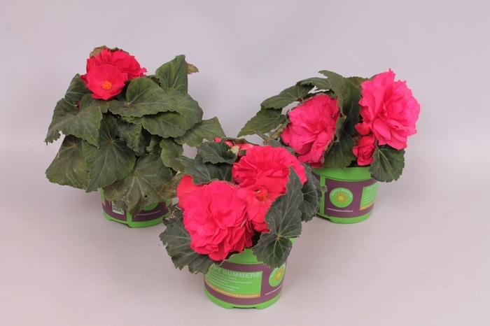 <h4>Begonia Tub. Nonstop Deep rose</h4>