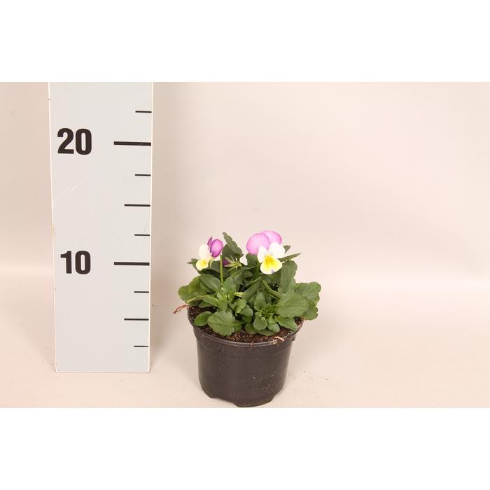 <h4>Viola cornuta F1 Persian Wing</h4>