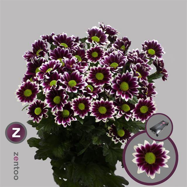 <h4>Chrysanthemum TR 'Haydar'</h4>