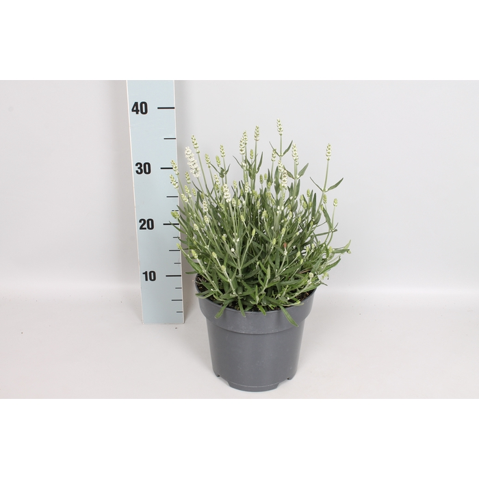 <h4>vaste planten 19 cm  Lavandula ang. Hidcote Blue</h4>