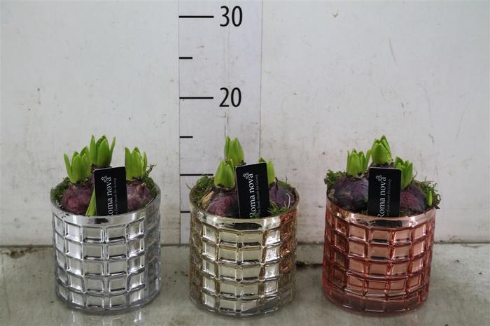 <h4>Hyacinth Mix 769 Urban Mix</h4>
