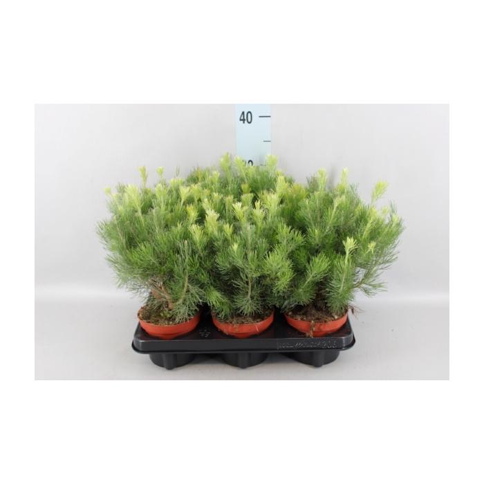 <h4>Adenanthos sericeus</h4>