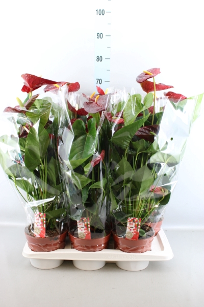 <h4>Anthurium andr. 'Arion'</h4>