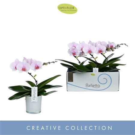<h4>Phal Balletto Curl 1 Tak Glass Style</h4>