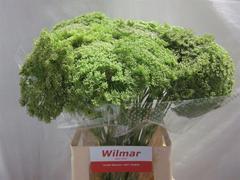 <h4>Ammi Visnaga Green Mist</h4>
