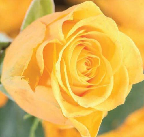 <h4>Rosa Yellow Spotlight</h4>