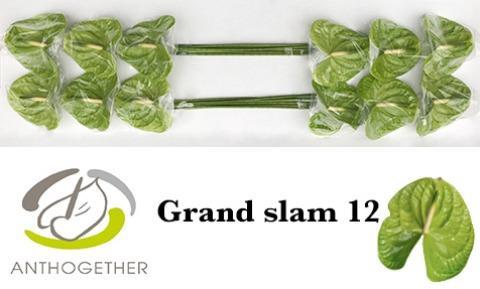 <h4>Anthurium Grand Slam</h4>