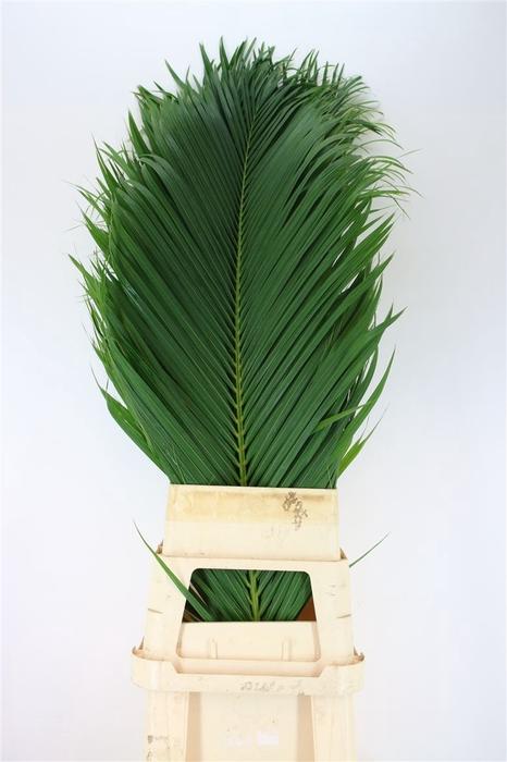 <h4>Cane Palm 150cm</h4>