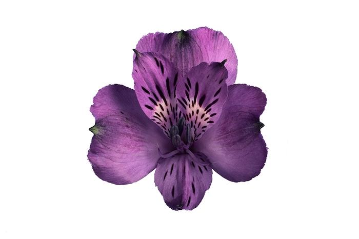 <h4>Alstroemeria morada Seleect</h4>
