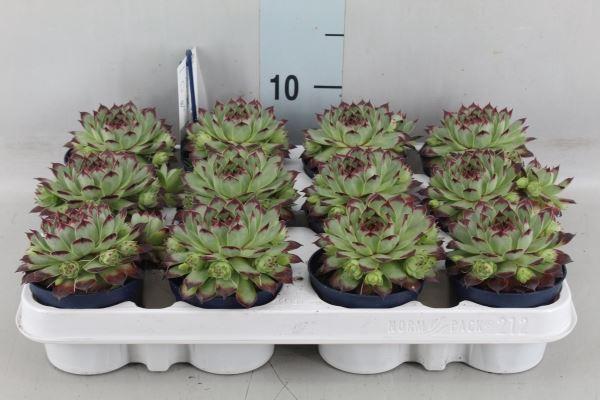 <h4>Sempervivum tectorum</h4>