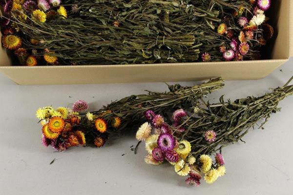 <h4>Df Helichrysum 55cm Bs Mix</h4>