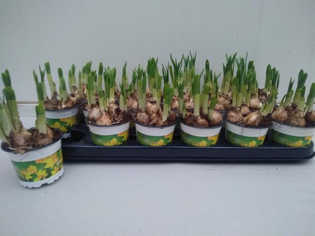 <h4>Narcissus Tete a Tete 9Ø 15cm</h4>