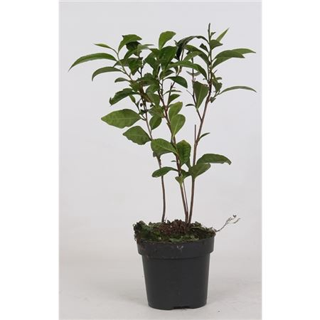<h4>Camellia Sinensis (theeplant)</h4>
