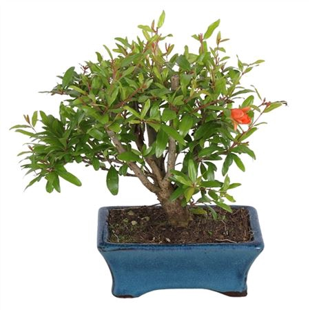 <h4>Bonsai Outdoor Deluxe Punica Granatum Ø15cm</h4>