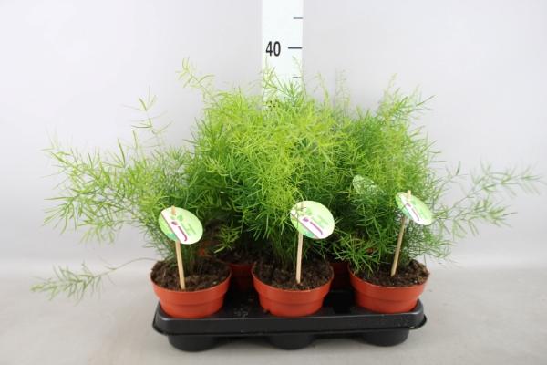 <h4>Asparagus dens. 'Sprengeri'</h4>